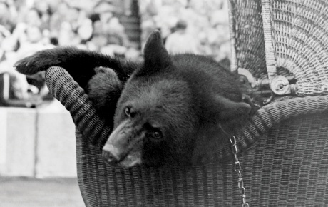A vintage photograph of a bear in a stroller, from 1948.