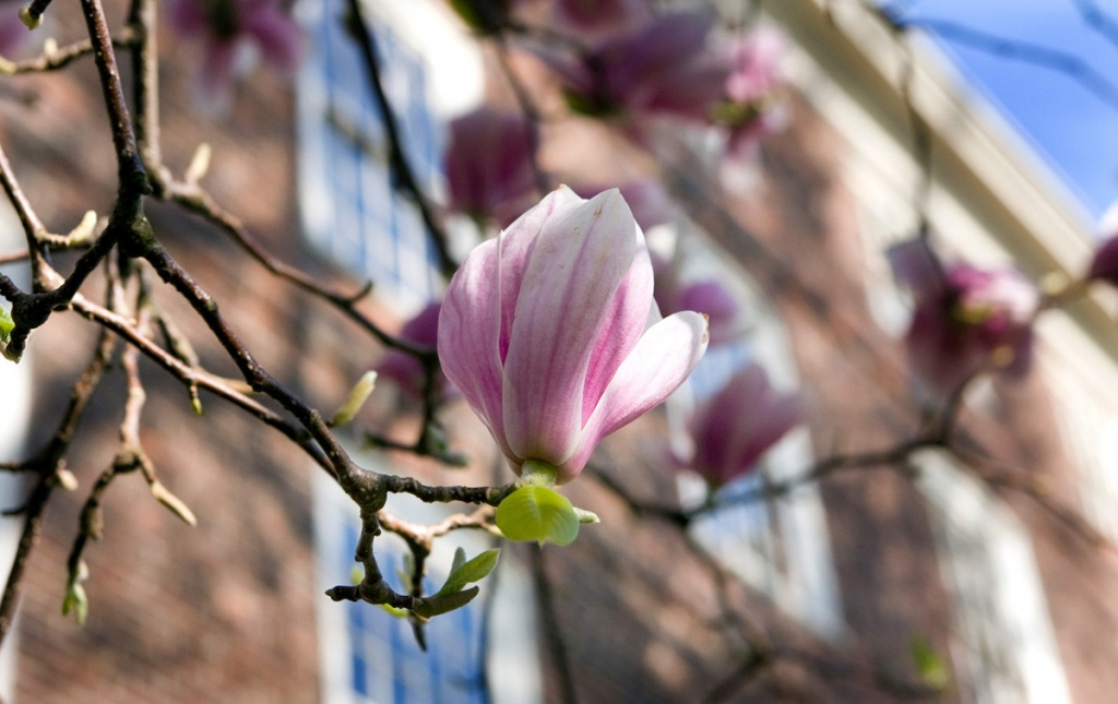 Image of magnolia in front of UHall Brown University image by John Abromowski / Brown University