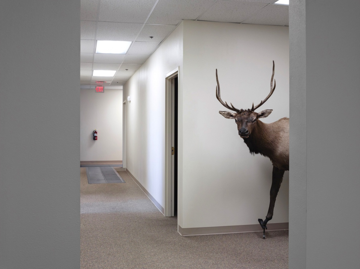 A stuffed elk stands in an office hallway.