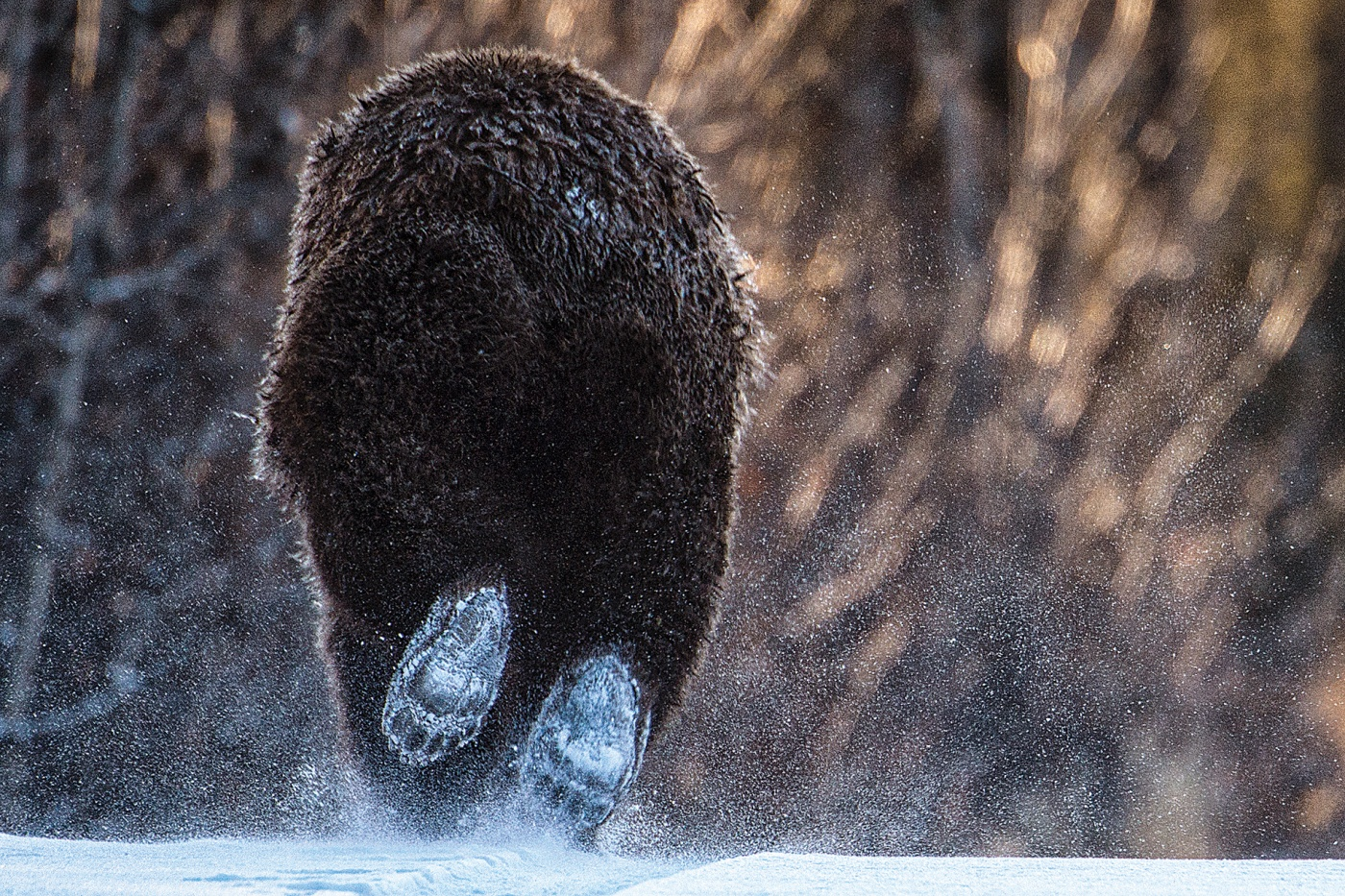 A grizzly bear flees a photographer